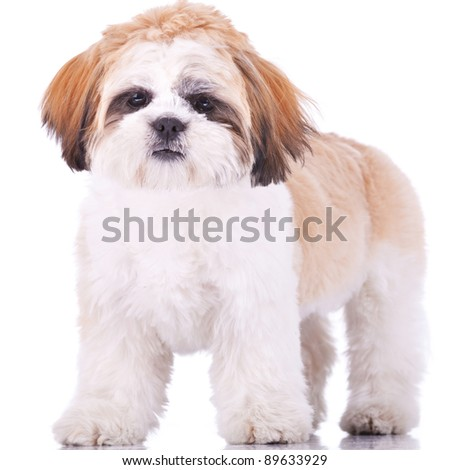 standing shih tzu puppy, looking at the camera on white background - stock photo