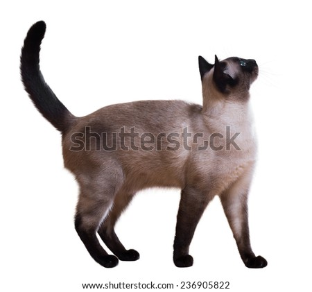 Standing Siamese cat, isolated on white - stock photo