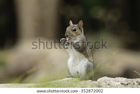 Standing squirrel eating a dried leaf.