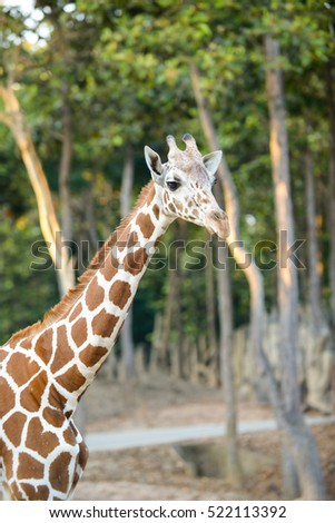 Standing young reticulated giraffe and looking around
