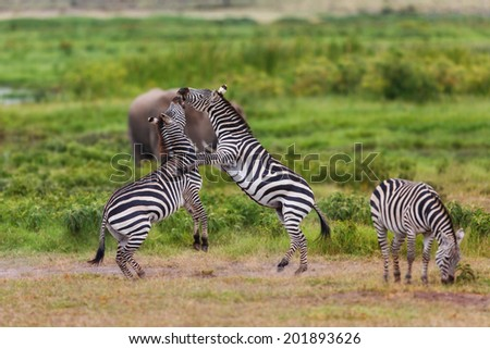 Standing Zebras during a fight with Elephants in the background in Amboseli National Park, Kenya - stock photo