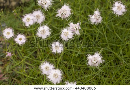 Star Bursts. An unusual white flower against the backdrop of a myriad of thin green stems. The flowers have petals that resemble start bursts.