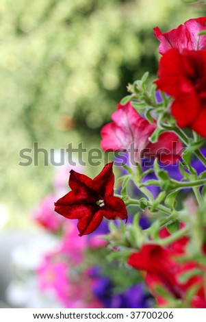 Star flower - stock photo