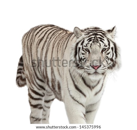 Stare of a snowy white bengal tiger, isolated on white background.