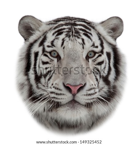 Stare of a white bengal tiger in snowflakes. The head of the most dangerous and beautiful beast of the world. Rounded mask of the biggest cat on white background. - stock photo