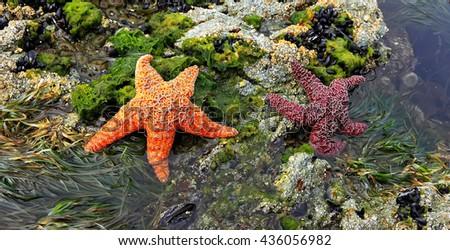 Starfish on the rocky coast of the Pacific Ocean (British Columbia. Canada) - stock photo
