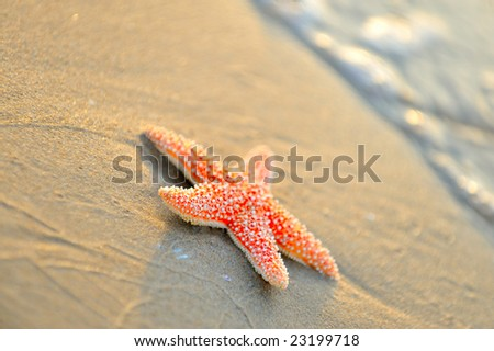 starfish on wet sand at sunrise/sunset