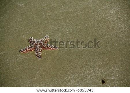 Starfish [sea star] on sandy beach at low tide,  Oregon coast - stock photo