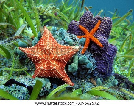 Starfishes underwater with a common comet star and a cushion sea star over colorful marine life, Caribbean sea - stock photo