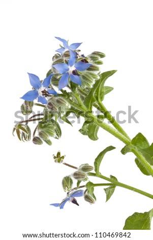 Starflower (Borage) isolated on white background - stock photo