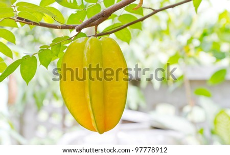 starfruit on tree - stock photo