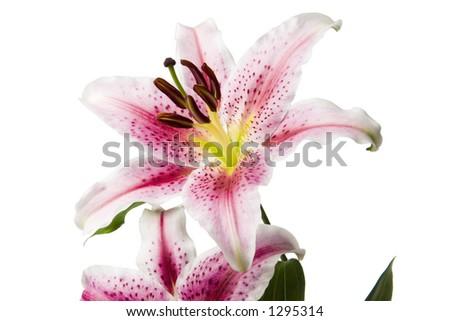 Stargazer Lily 5 - stock photo