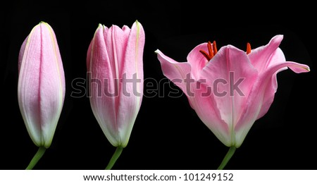 Stargazer Lily time lapse isolated on black - stock photo