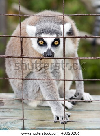 Staring Lemur Behind A Cage - stock photo