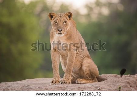 Staring Lion (Panthera leo) - stock photo