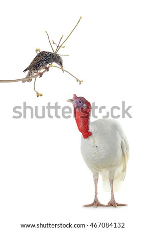 starling and turkey  isolated on a white background. Studio