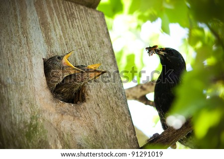 Starling juveniles lunch - stock photo