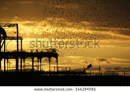 Starling, Sturnus vulgaris, Brighton pier roost, Sussex, UK,  Autumn - stock photo