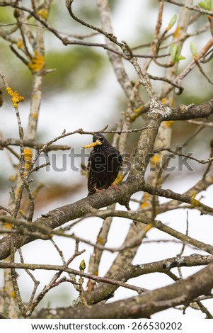 Starling with a caterpillar in its beak on a branch - stock photo