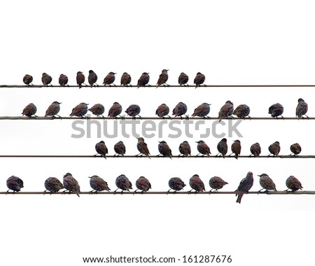 Starlings on a wire - stock photo