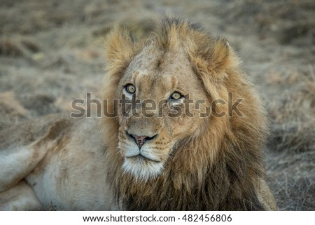 Starring male Lion in the Kapama game reserve, South Africa.