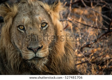 Starring male Lion in the Kruger National Park, South Africa.