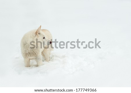 Starring wolf dog looking to the right allowing for copy space as she stands in the snow. - stock photo
