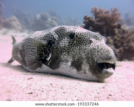 Starry puffer (Arothron stellatus) - resting on the sandy bottom. Red Sea, Egypt. - stock photo