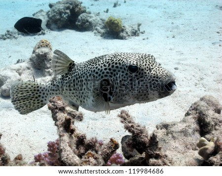 Starry puffer - Giant pufferfish (Arothron stellatus) swimming above the hard coral - stock photo