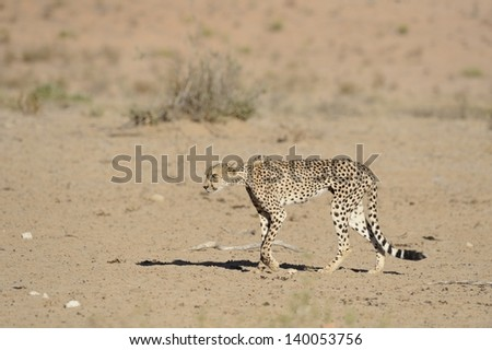 Starving Cheetah (Acinonyx jubatus) in the Kalahari desert. A leg injury prevents the predator from hunting successfully and it is close to death - stock photo