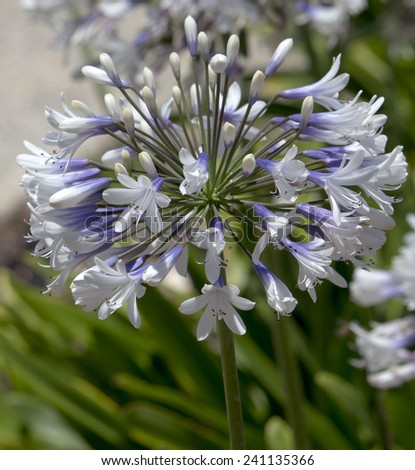 Stately  white tinged purple  agapanthus Lily of the Nile  genus in  subfamily Agapanthoideae of plant family Amaryllidaceae contrasted against   the long green leaves is a popular  feature plant .
