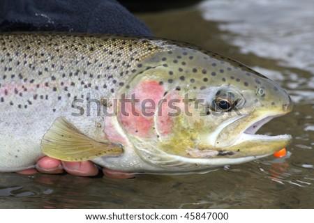 Steelhead trout caught on a fly rod. - stock photo