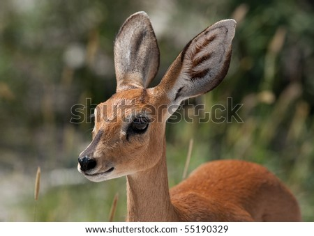 Steenbok - stock photo