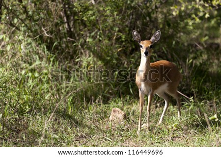 Steenbok Female - stock photo