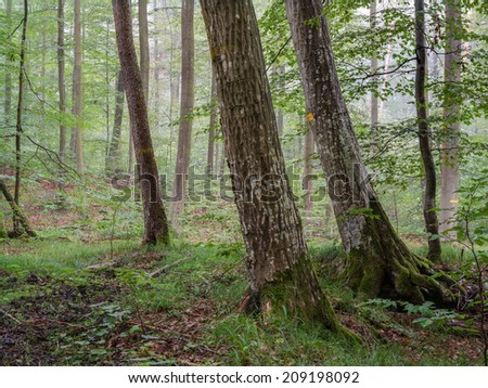 Steigerwald Forrest in Germany, famous for its  great old beech trees. The Green Heart of Franconia. Morning Fog, magical atmosphere.