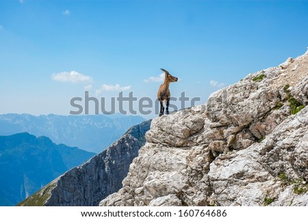 Steinbock on top of a rock in Jof di Montasio, Friuli, Italy