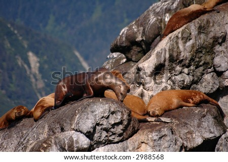 Stellar Sea Lions - stock photo