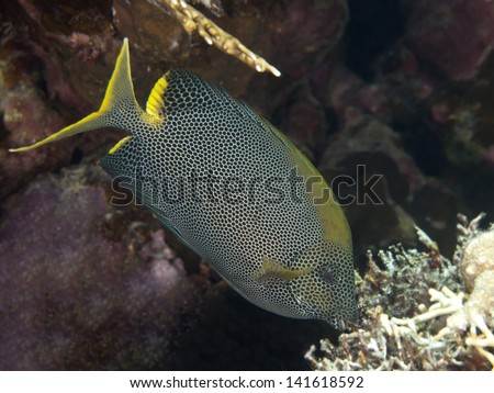 Stellate rabbitfish in red sea - stock photo