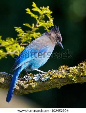 Steller's Jay on a Branch