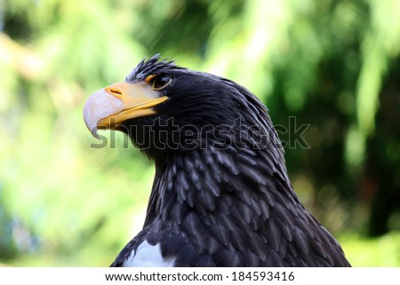 Steller's sea eagle closeup portrait  stellers seaeagle - stock photo