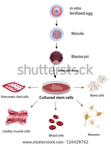 Stem cells cultivation and differentiation - stock photo