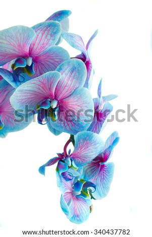 stem of blue orchids close up isolated on white background - stock photo