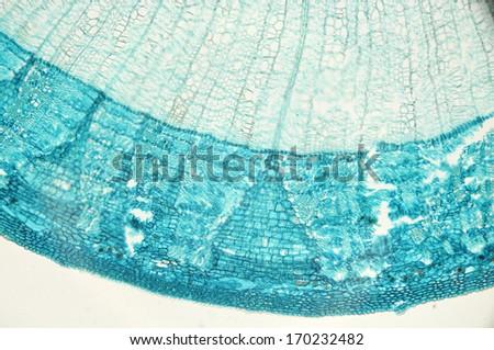 Stem of dicotyledon, cross section - microscopic view - stock photo
