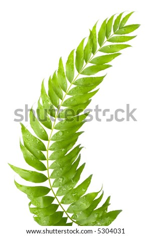 Stem of fern leaves isolated on white background