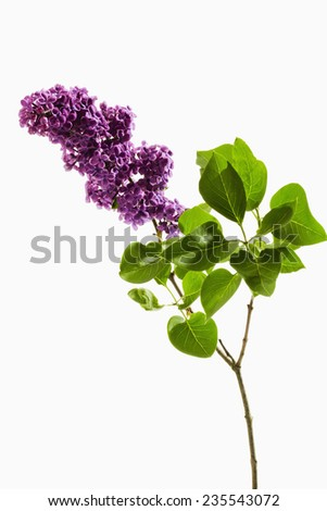 Stem of Lilac - stock photo