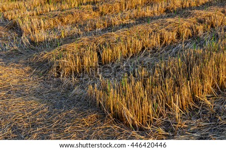 Stem of rice in the field after harvest and sunlight, Thailand