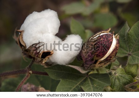stem of ripe cotton in a field ready to be harvested - stock photo