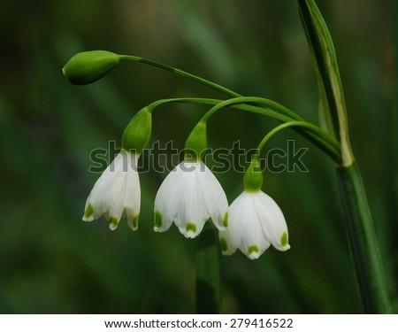 Stem with three little summer snowflake flowers, leucojun vernum - stock photo