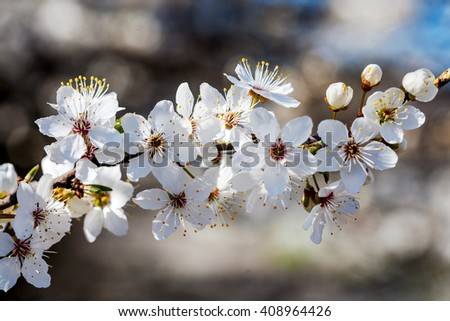 Stems of white flowers at blooming fruit tree - stock photo