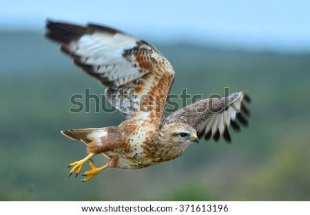 Steppe Buzzard in flight - stock photo